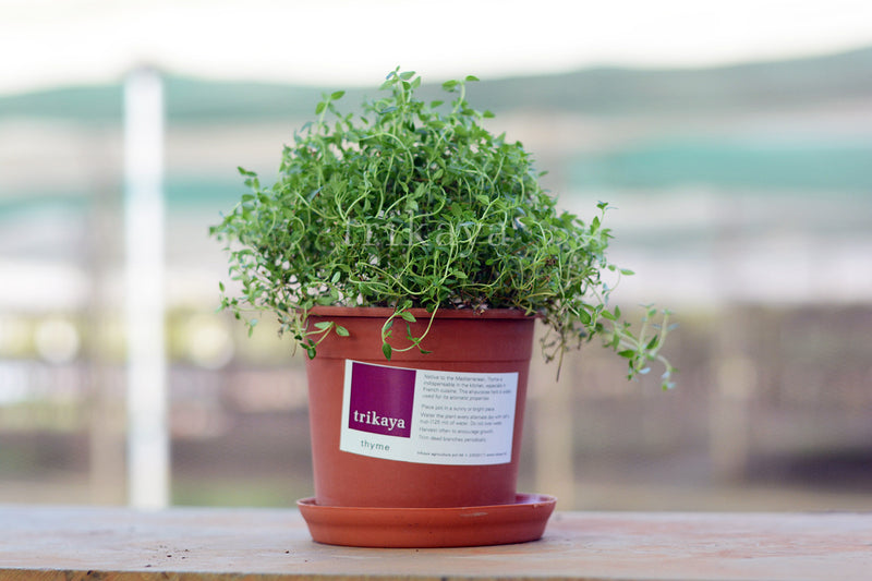 Thyme Potted Plant