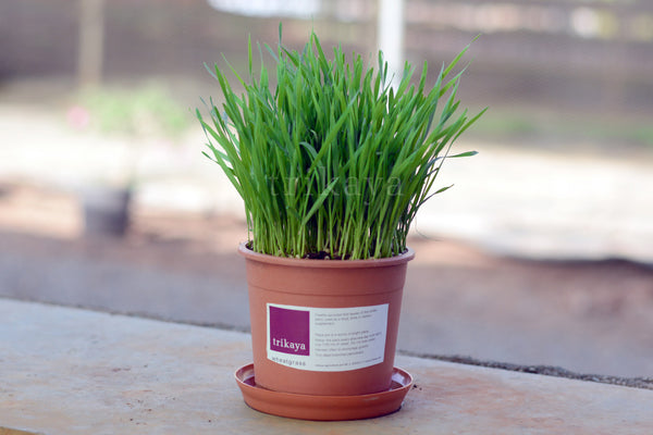 Wheatgrass Potted Plant
