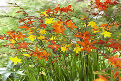 Crocosmia (Red,Yellow,Pink)