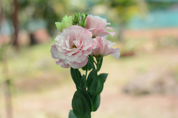 Lisianthus (White, Pink, Blue)