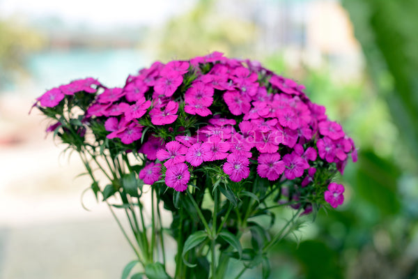 Sweet William (Mix Colours)