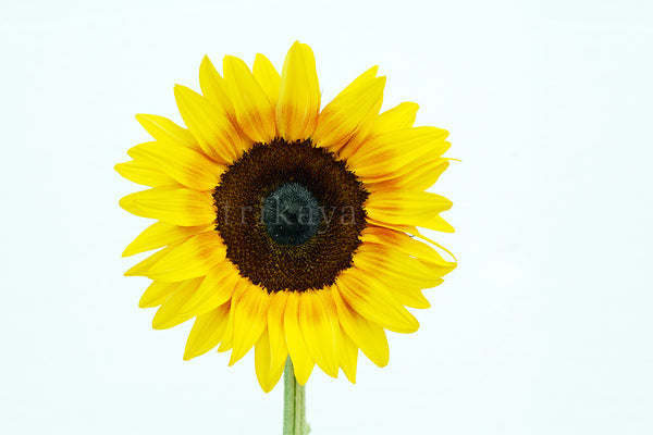 Sunflower Bicolours