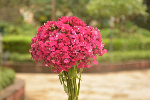 Sweet William Pink