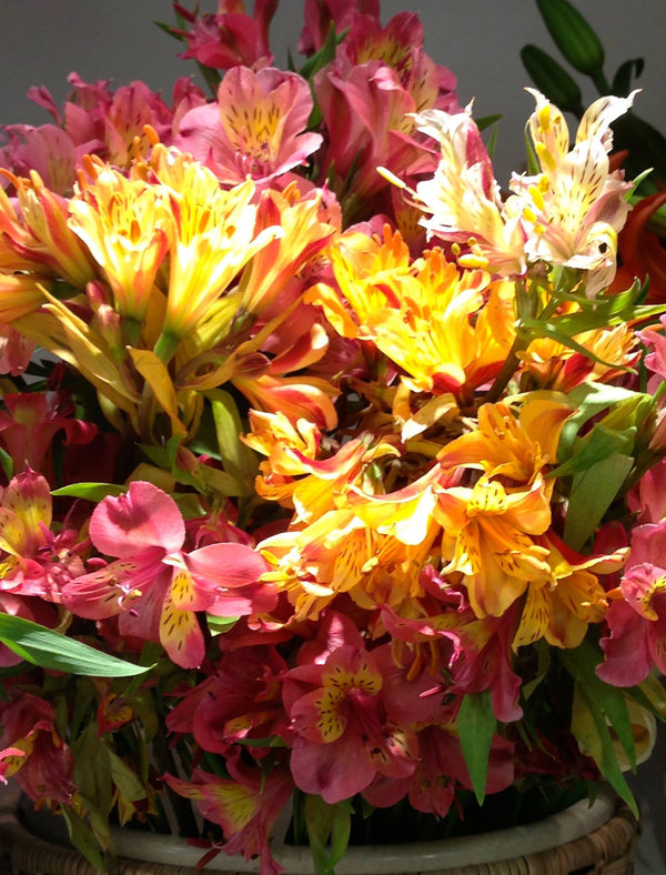 Alstroemeria - Mixed colours
