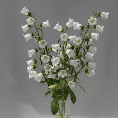 Campanula (White, Pink and Blue)