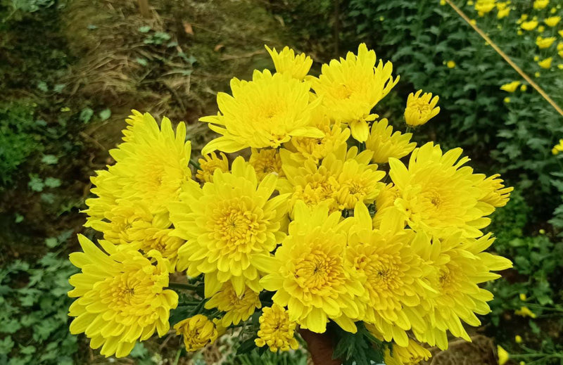 Chrysanthemum yellow spray