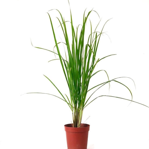 Lemon Grass Potted plant