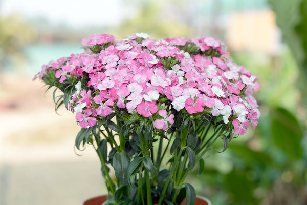 Sweet William Rose Supreme