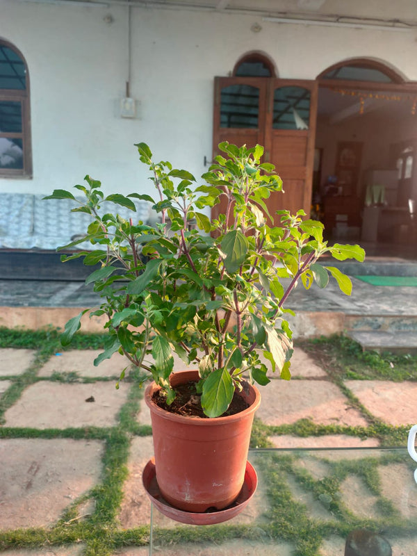 Tulsi Potted Plant