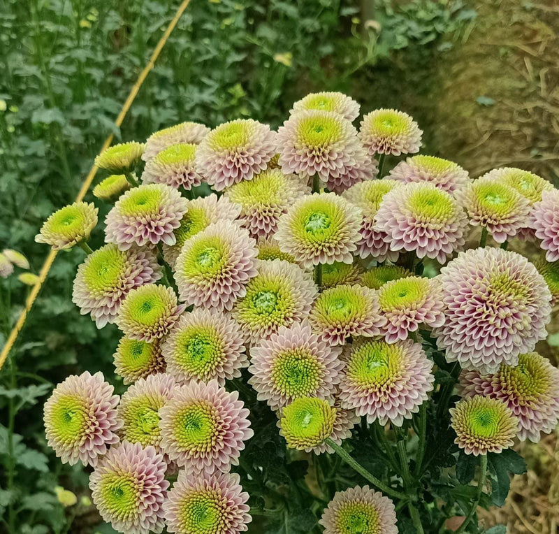 Chrysanthemum pink button