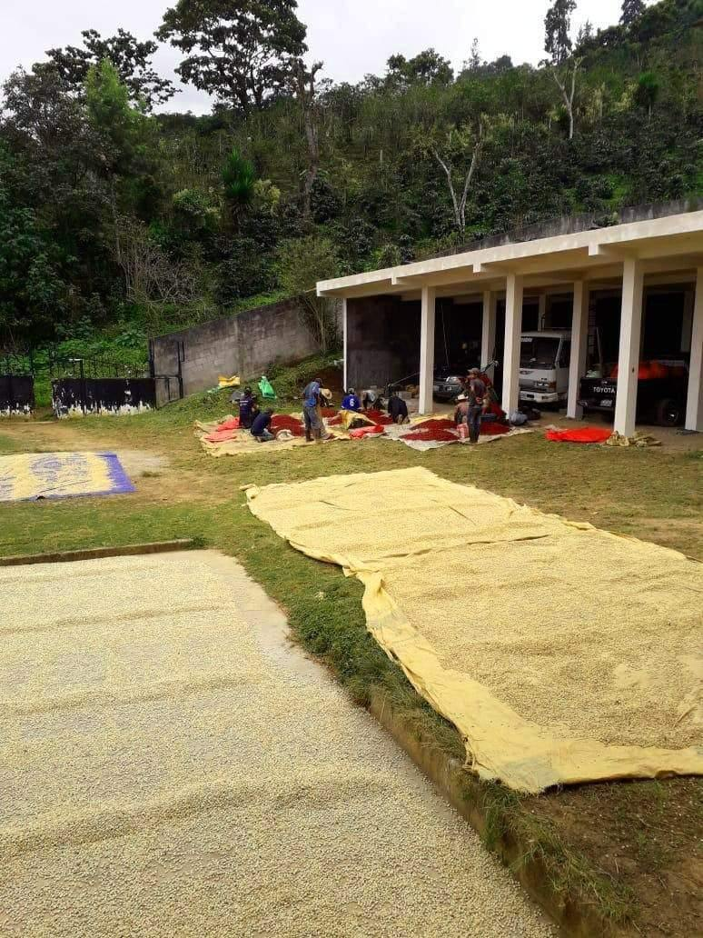 coffee farm, los suspiros, guatemala, beans drying on patio, huehuetenango, guatemala