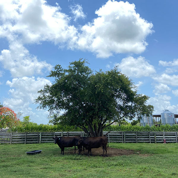 Culinary Tour in Miami: Wagyu Farm Visit with Chef Carlos Garcia