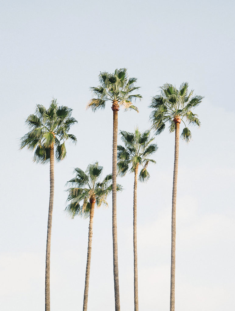 Regal Palm Trees Poster