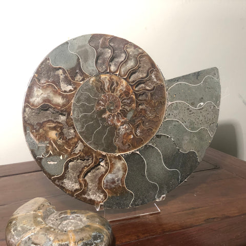 Massive bisected Ammonite Fossil.