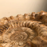 Amazing Giant Whole Ammonite
