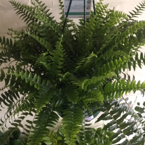 Boston Fern - Hanging Plant