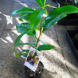 Chocolate Pudding Fruit Tree - Diospyros nigra, black sapote, zapote prieto 200mm