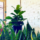 FIDDLE LEAF FIG - Ficus Lyrata - 300mm Dubbo - Nowra - Dural