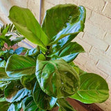 FIDDLE LEAF FIG - Ficus Lyrata - 300mm by Tradewinds Plants