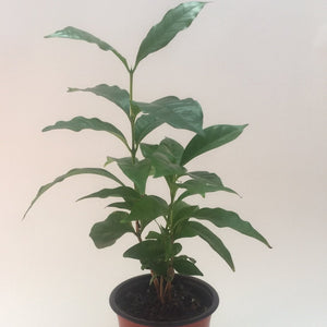 Coffee Tree - Plant - (Coffee Arabica) 130mm