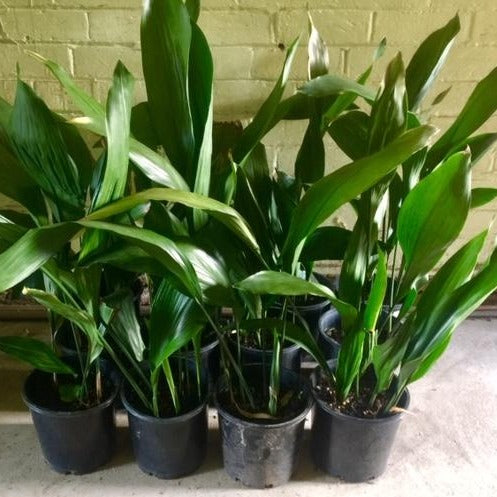 Cast Iron Plant - Aspidistra elatior - 200mm by Tradewinds Plants