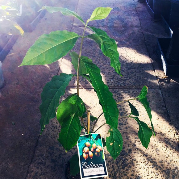 Peanut Butter Tree - Bunchosia argentea by Tradewinds Plants