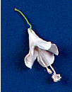 Bell Flower - Small - White With Stem 48 ct
