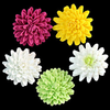 Chrysanthemum - Large - Assorted Colors - 32ct