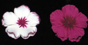 Dianthus Flower - White w/ Burgundy & Burgundy Only - 54ct
