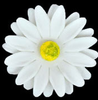 Gerbera - Large - White 18 ct