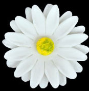 Gerbera - Medium - White 36 ct