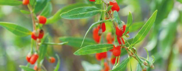 The Search for Goji Berries