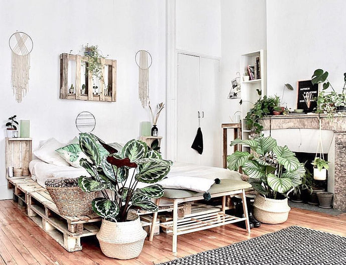 Everything you need to know about the Calathea Medallion house plant