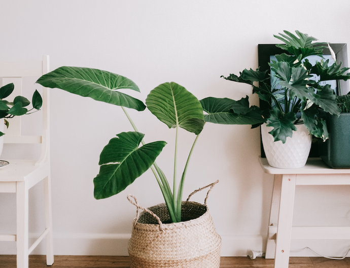 Everything you need to know about the Philodendron Hope house plant
