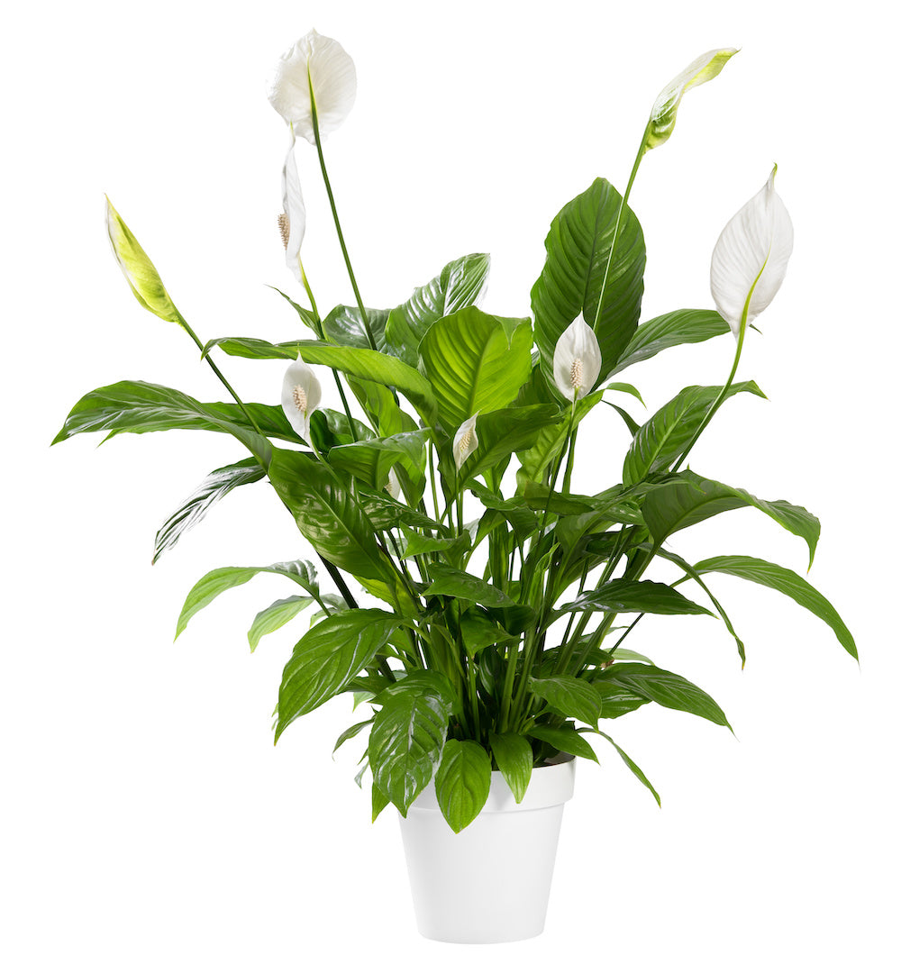 Spathiphyllum Benito (Peace Lilly)