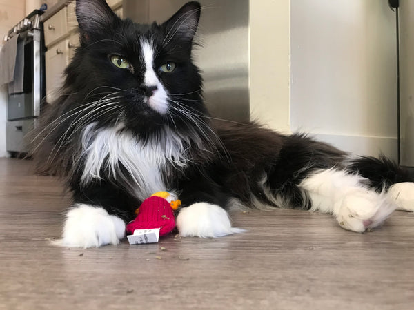 Anubis: Cat of the Month