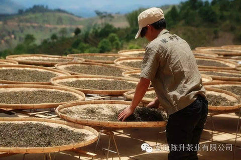 Worker from Chen Sheng Hao checking pu erh tea leaves from Naka