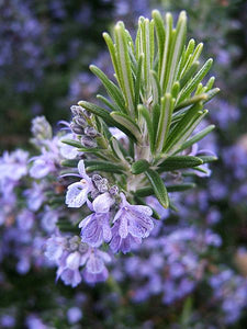 Rosemary (2oz) - Wholesale