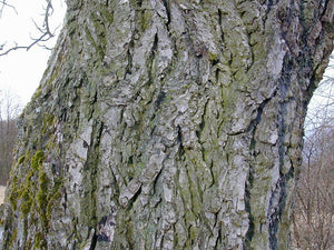Black Walnut Bark (2oz)