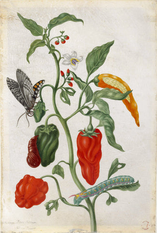 Maria Sibylla plant study with peppers