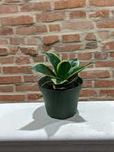 Load image into Gallery viewer, 4in Sanseveria Black Gold