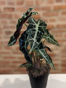 4in Alocasia African Mask