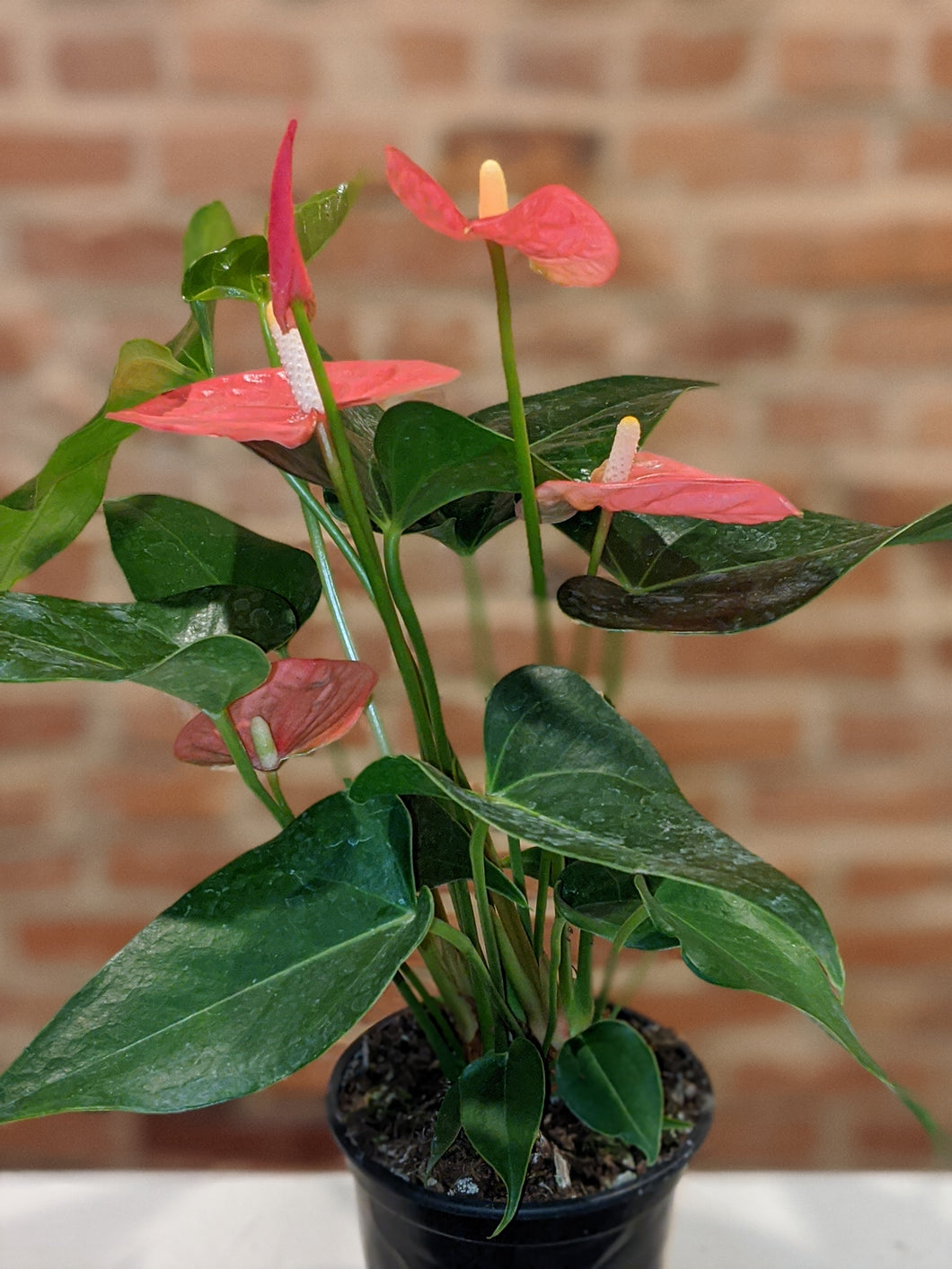4in Anthurium