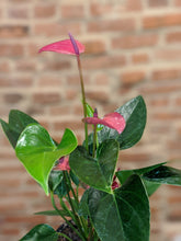 Load image into Gallery viewer, 4in Anthurium