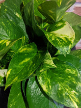 Load image into Gallery viewer, Golden Pothos