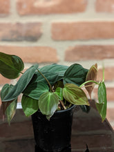 Load image into Gallery viewer, Philodendron Mican
