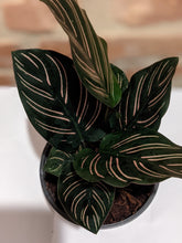 "Load image into Gallery viewer, 6"" Calathea ""Pinstripe Plant"""