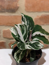 "Load image into Gallery viewer, Calathea ""White Fusion"" 4in"