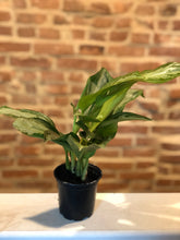 Load image into Gallery viewer, Chinese Evergreen