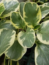 Load image into Gallery viewer, 4in Peperomia Variegated